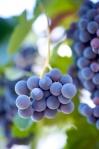 Grapes, Chile